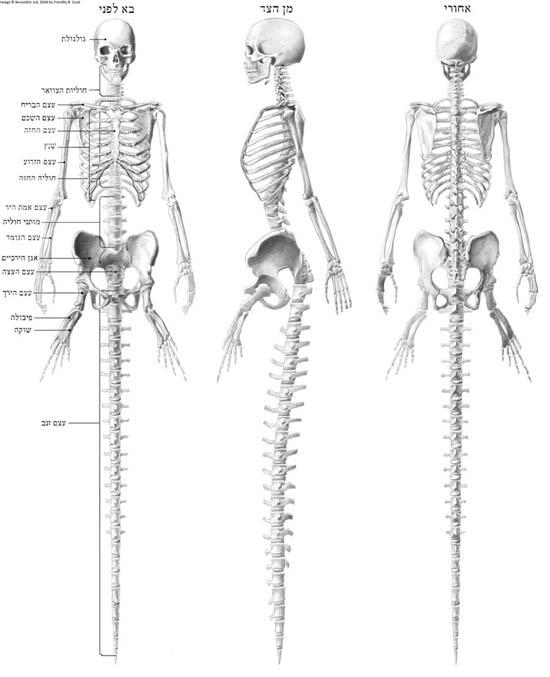 anatomia02