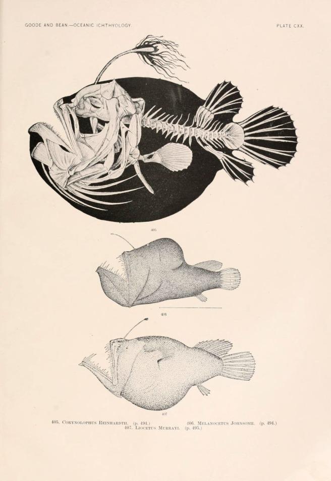 Oceanic ichthyology. v.22 atlas. Cambridge, U.S.A. :Printed for the Museum,1896. Via