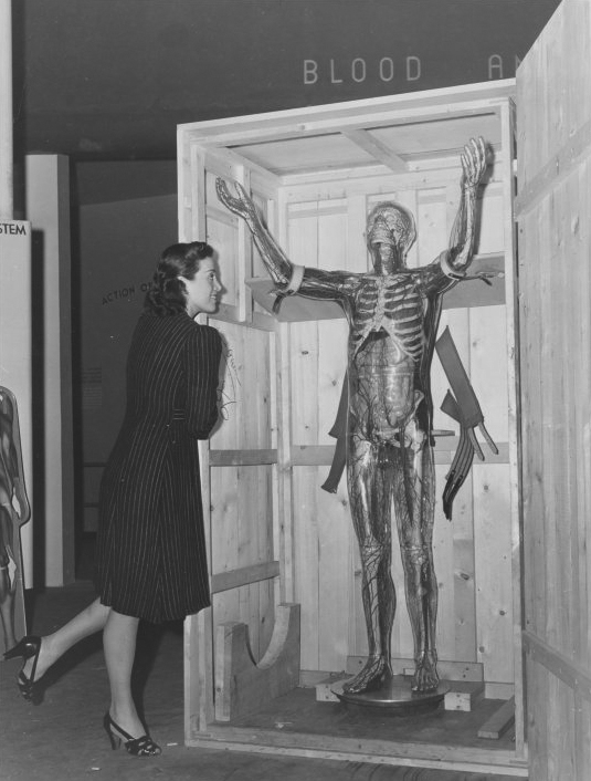 Woman looking at model of transparent man, New York World's Fair, ca. 1940. Via
