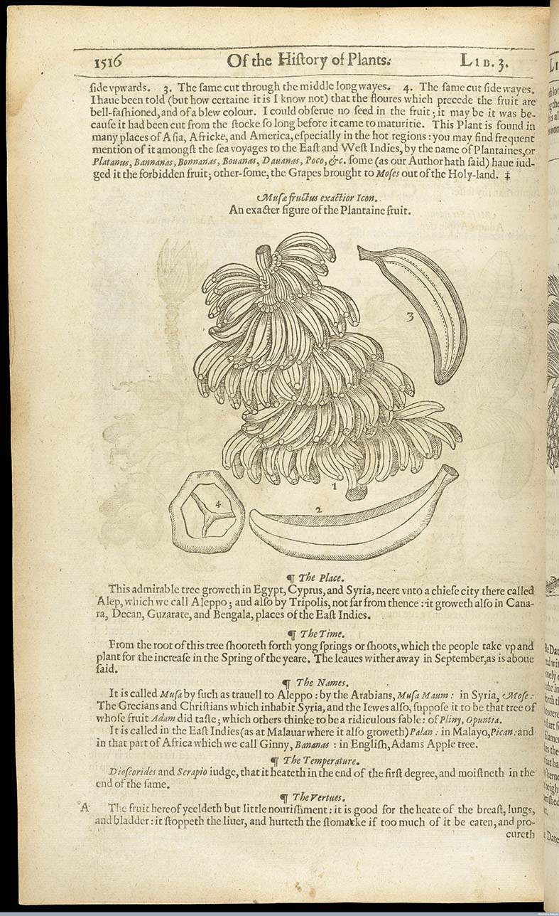 L0064346 Page 1516 The herball or, generall historie of plantes